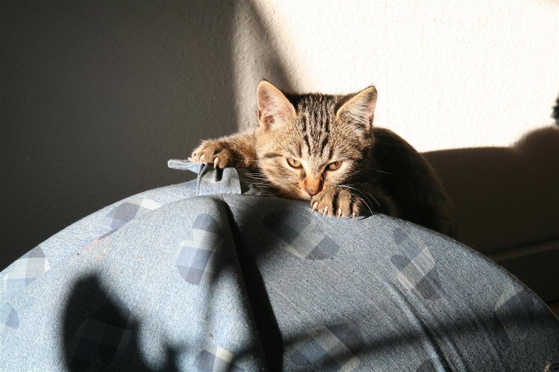 kattekilling