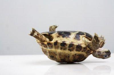 Skildpadde på ryggen
